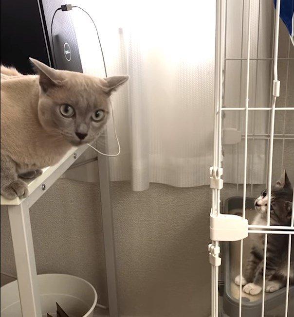 怒る先住猫と気にしてない子猫!記念すべき初対面の様子