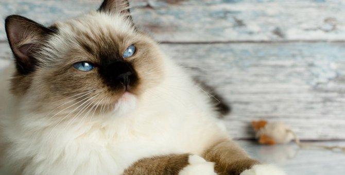 大型の猫5選!特徴や性格、飼う時の注意点まで