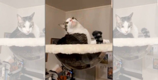 「よっ!雉白屋!!」毛づくろい中に見得を切る歌舞伎猫さんが話題