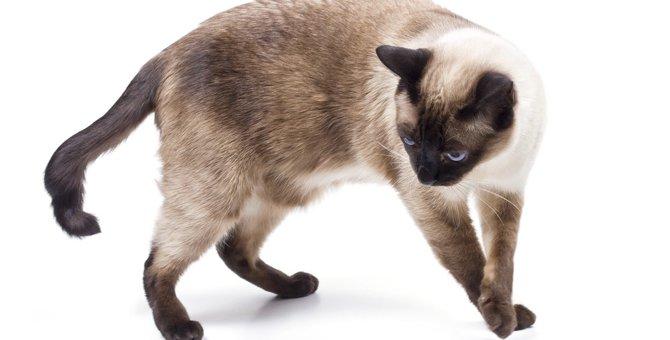シャム猫の性格や特徴、値段から飼う時の注意点まで