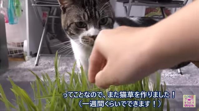 枯れたのは食べニャい!新しい猫草に大喜びのグルメ猫さん♪