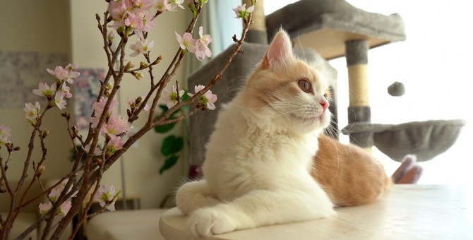 この組み合わせはズルい!『桜×猫』写真が美しすぎて話題♡
