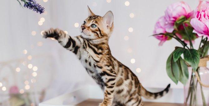 ベンガルの子猫の飼い方とブリーダー