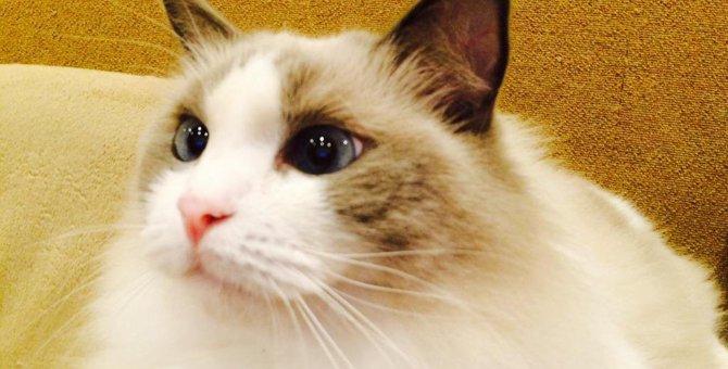 ラグドールがいる猫カフェ4選!お店の特徴とアクセス方法