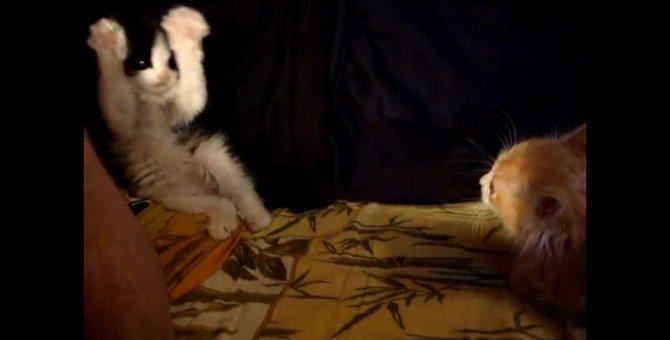 子猫ちゃん、ばんじゃーい!のポーズで勝負を挑む
