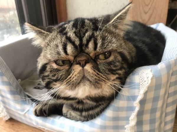 短毛猫の種類や特徴、お手入れ方法について