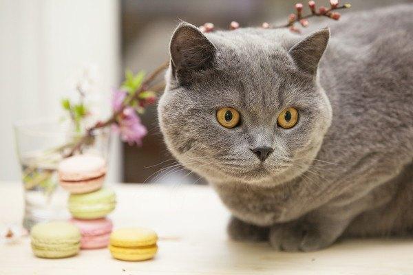 猫のスイーツ!お取り寄せもできるかわいいお菓子をご紹介!