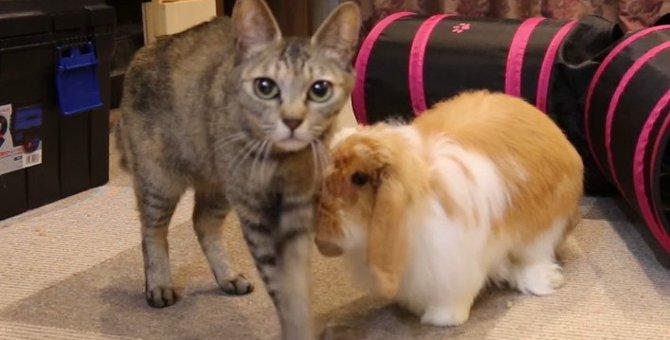 仲良し!ウサギに追いかけられる猫