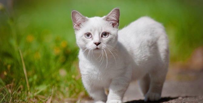 『寿命が短い猫』の種類3選