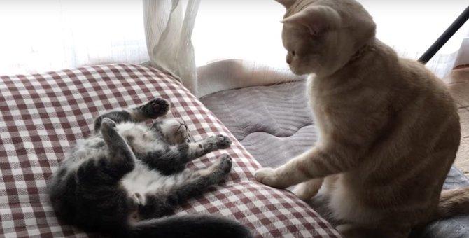 子猫ちゃん、洗礼を受ける!?降参する姿がたまらない