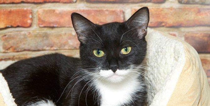 タキシード猫とは  フォーマルな毛色が魅力的な猫