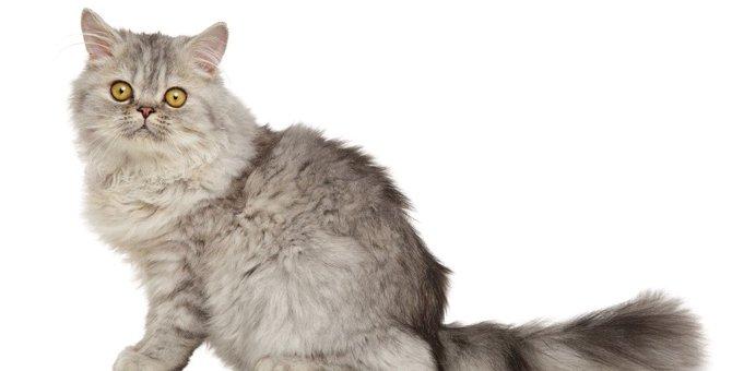 アパート暮らしの方必見!賃貸物件でも飼いやすい猫種3選
