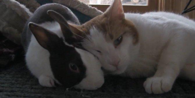 兎さんのことが好きすぎてつい枕にしてしまう猫ちゃん