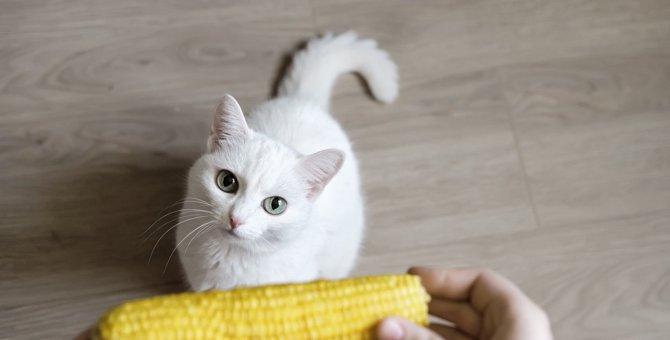 猫に『とうもろこし』を与えても大丈夫?与える量や加工方法など注意点3つ