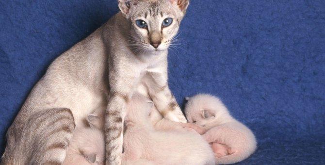 猫のおっぱいはいくつあるのか
