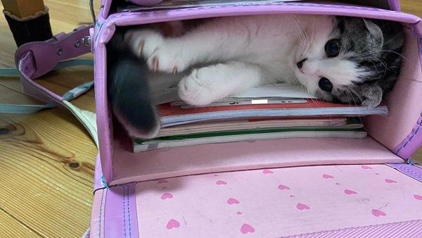 「大好きなお姉ちゃんと学校に行くニャ~」ランドセルに隠れる猫さん