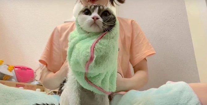 シャンプーを頑張ったのに、ごほうびを遠慮しちゃう猫さん!