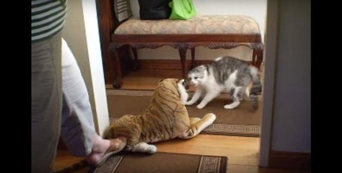 誰だテメェー!トラのぬいぐるみに超警戒する猫ちゃん
