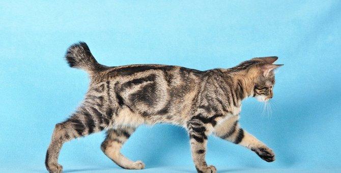 鍵しっぽの猫はどこから来た?意外と知らなかった尾曲がりネコのルーツ