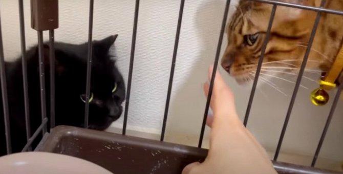 ここはぼくのおうちだにゃ!保護猫さんと対面して怒った猫さん