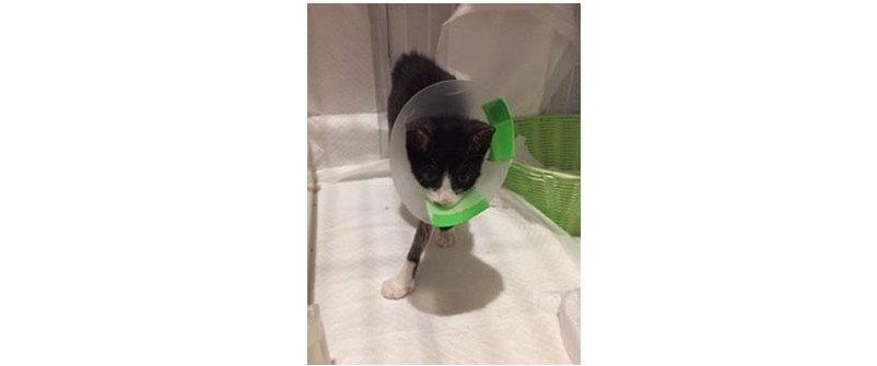 交通事故か?片手を骨折した子猫の保護と回復