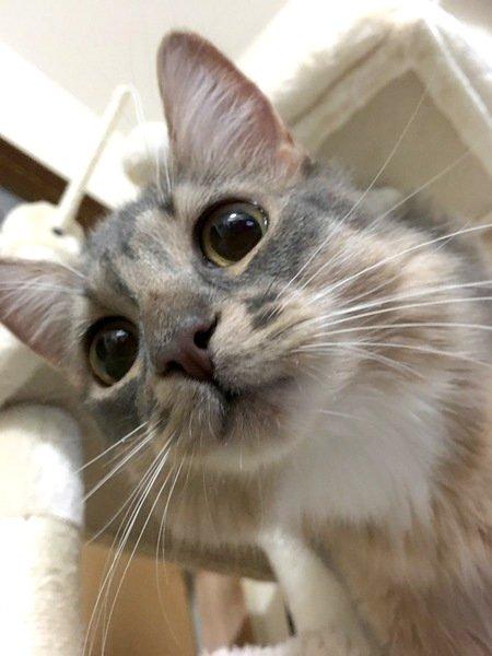 キツネみたいな猫!?ソマリの魅力を解説!
