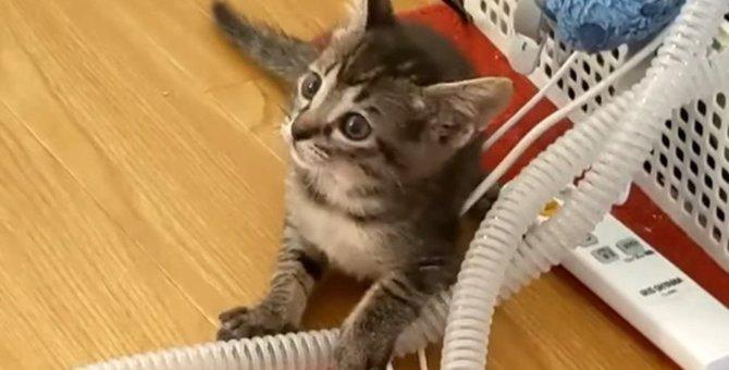 いつ覚えた?子猫のがおー!