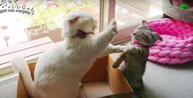 バトル勃発!箱から出たくない先輩猫と箱に入りたい子猫!