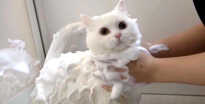 もこもこ泡風呂を堪能♪真っ白な猫ポムさんのお風呂タイム