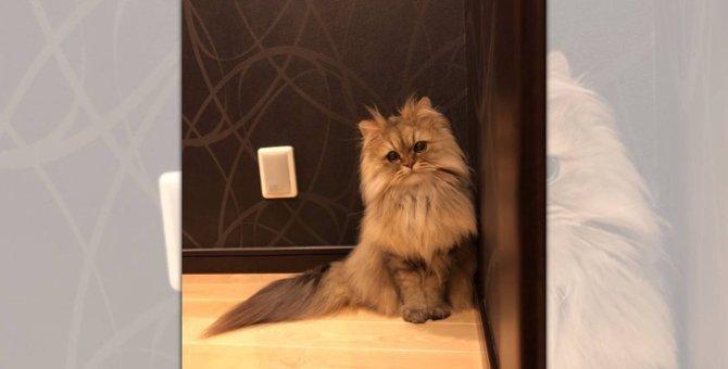 『お姫様感』半端ない!しっぽの先まで美しすぎると話題の猫さま♡