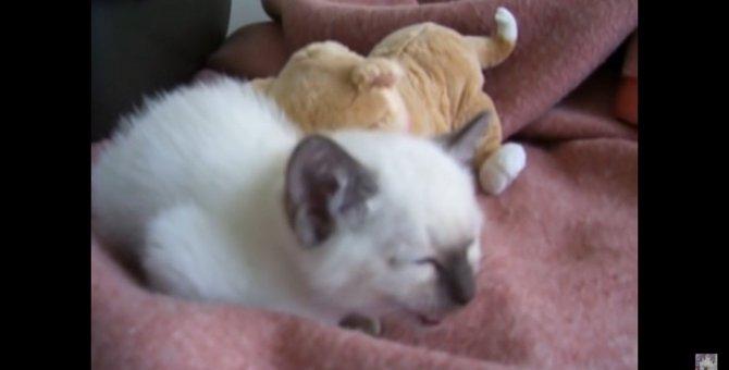 遊びたいけど眠い子猫ちゃん、葛藤の末に…zzz