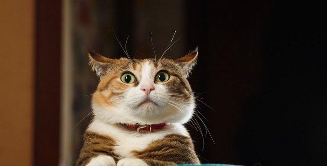 猫のイカ耳って?その時はどんな気持ちなの?
