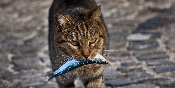 「猫=魚好き」というイメージは日本だけ!?その理由は?