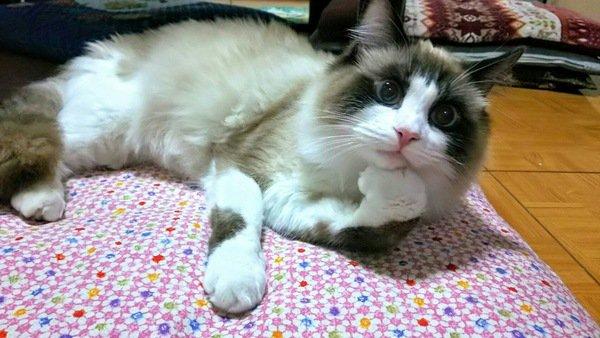 猫が片手だけ曲げて座るのはどうして?5つの気持ち