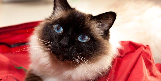 ヒマラヤンってどんな猫?性格や特徴について