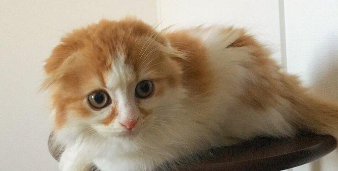 顔の模様がまるで隈取り!?歌舞伎猫のスコティッシュフォールド「五右衛門くん」