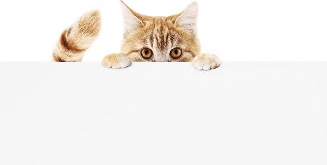 猫のしっぽが短い理由やその種類、性格について