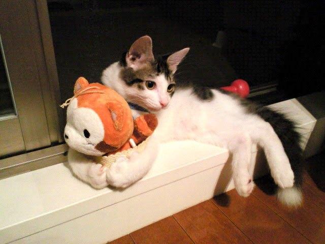 やせっぽちの保護猫「ソラ」。出会いと不安だらけの日々…そして今