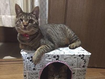 猫が大好き!手作りのダンボールハウス!!