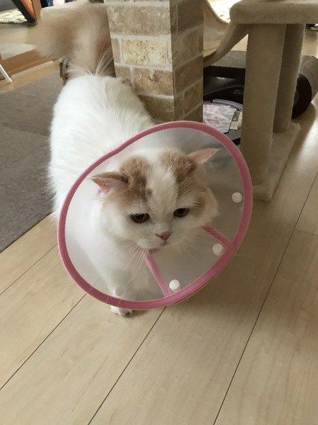 『病院が苦手な猫』が見せる行動5選