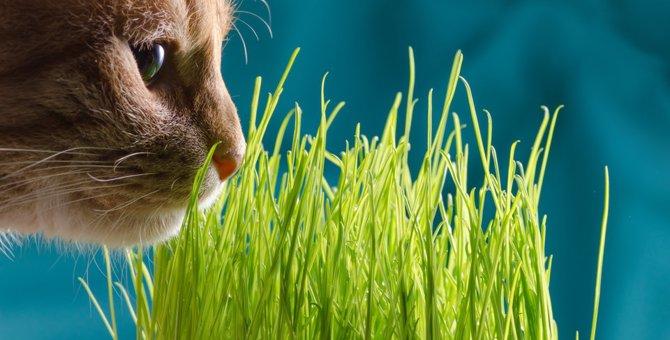 猫草を猫が食べる4つの理由とその必要性