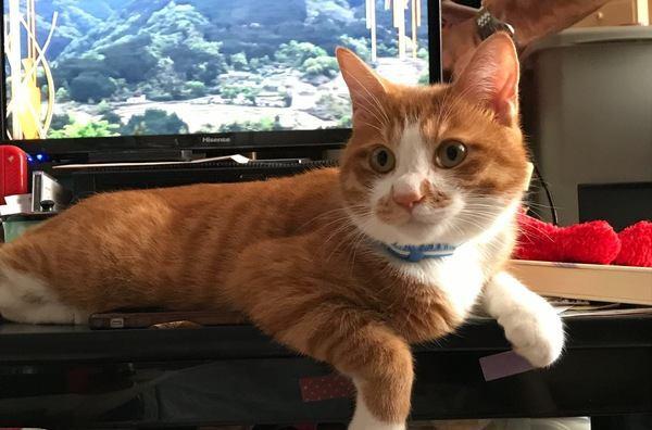 テレビを見てる時に猫が邪魔をしてくる心理3つ