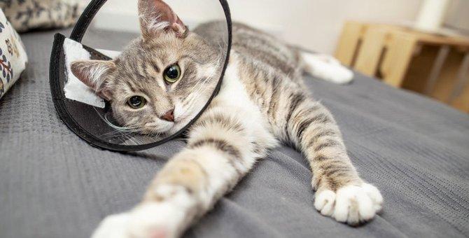猫のエリザベスカラーを手作りする方法!型紙やタオルで代用できる