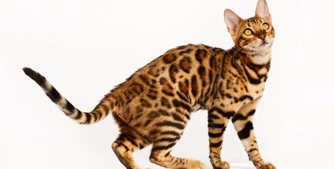 ベンガル猫を飼う時の価格と準備