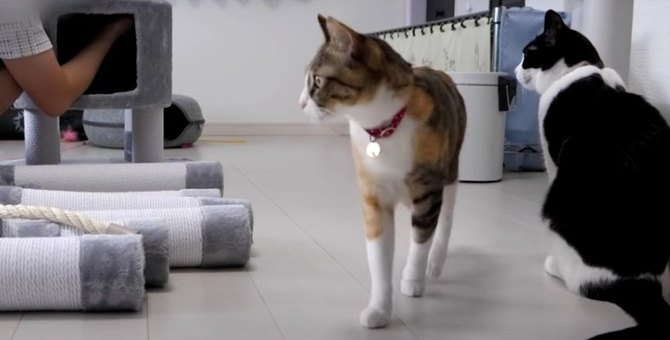 ついにやってきた♪新しいキャットタワーを見た猫ちゃんのリアクションとは?