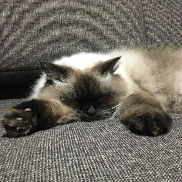 『あまり鳴かない猫の種類』4選