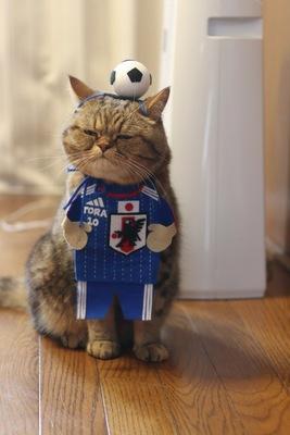 ニャールドカップのスタメンにゃ!!エキゾチックショートヘアの寅次郎くんもサッカーを応援しています