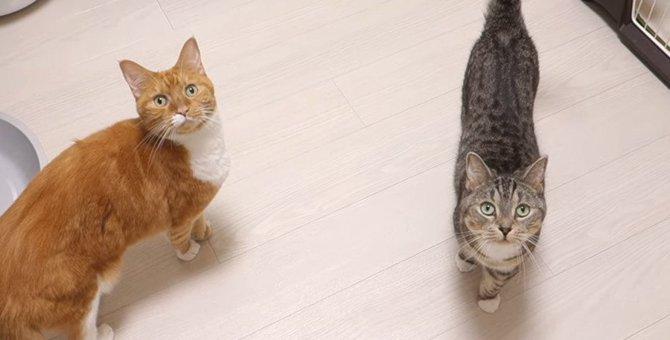 鳴き声が「ごはん」に聞こえる?!猫姉妹の腹減りアピール!
