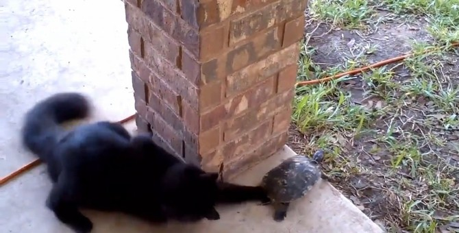 ウサギと亀ならぬ『ネコと亀?!』一緒にぐるぐる回って遊ぶ猫と亀♪
