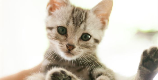 子猫のアメリカンショートヘアの選び方や飼い方